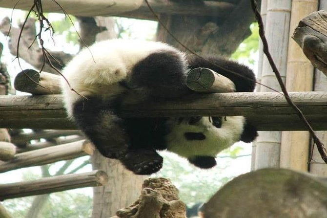 Chengdu Giant Panda Base Private half day tour