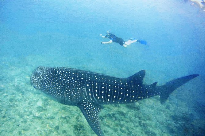 Whale Shark Snorkeling Package- half day excursion w/accommodation at Dhigurah