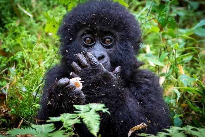 2 Days Mountain Gorilla Safari Rwanda