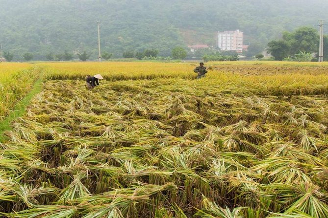 Rice paddy in harvest season