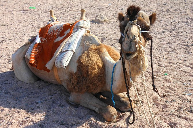 Camel Safari with Optional Bedouin Dinner