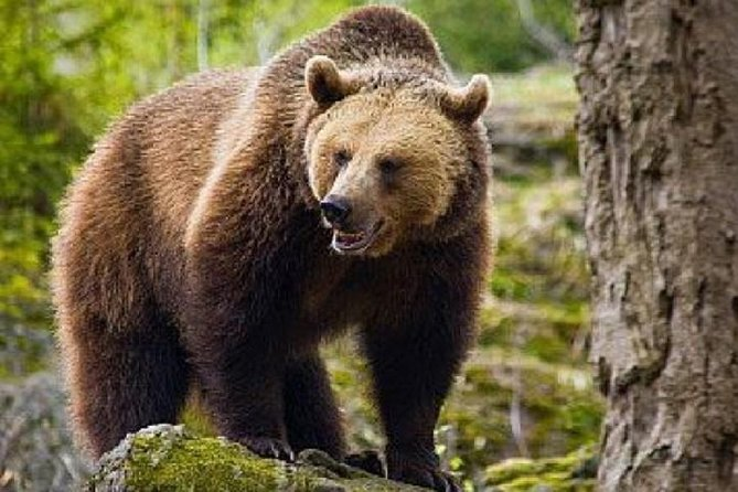 Bear Watching in The Wild from Brasov photo 1