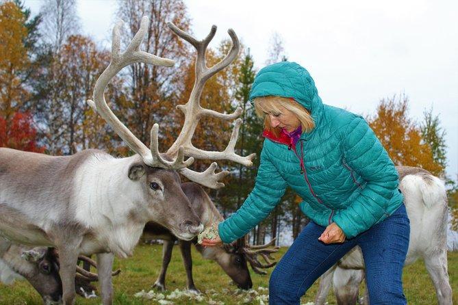 Visita granja de renos, paseo de 2.5 km, bebidas y transporte desde Rovaniemi