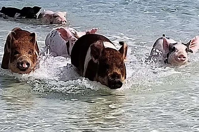 West End - Swim with the Pigs Experience