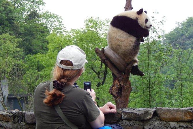 Mini gruppo: tour di panda e hotpot di Chengdu di mezza giornata