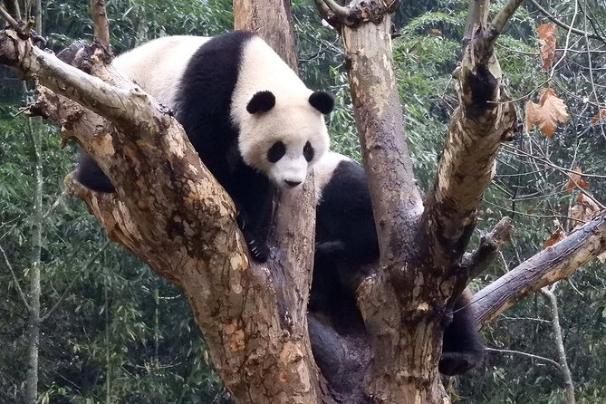 Programme de bénévolat de la base de Wolong Panda avec possibilité de prendre des photos avec l'option Panda.