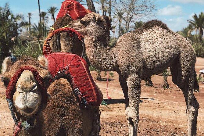Camel Ride in Palmeraie from Marrakech