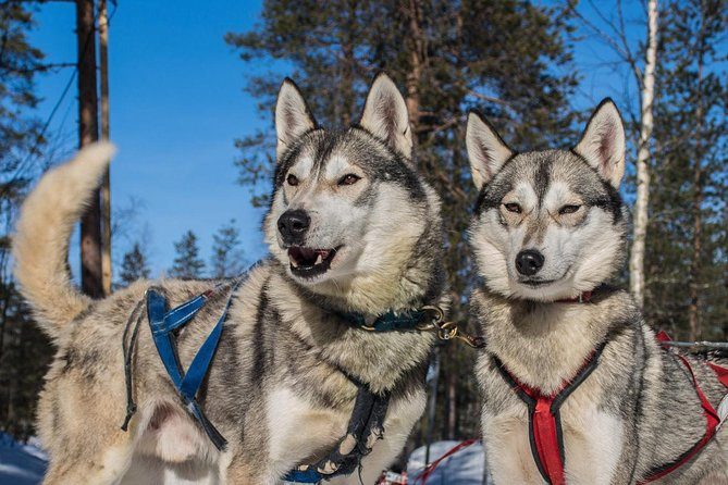 Husky Safari from Rovaniemi Including a Husky Sled Ride photo 4