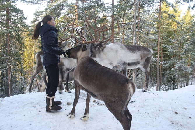 Lapland Reindeer Safari From Saariselkä