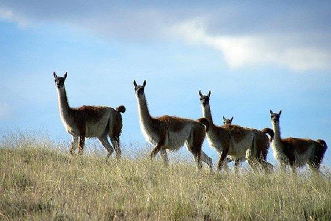 El Calafate Safari Experience
