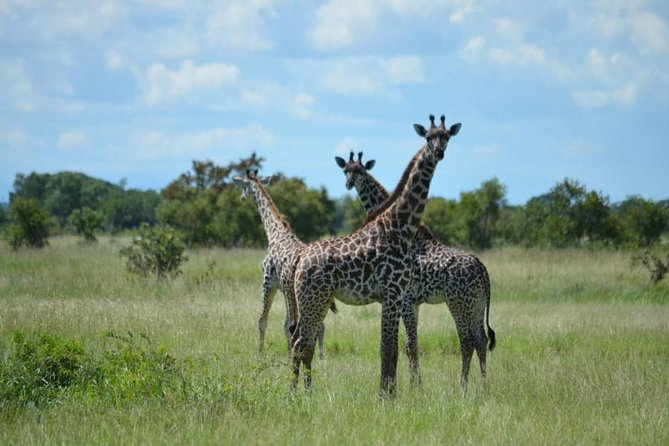 Giraffes in Mikumi National Park