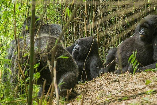 3 Days Rwanda Gorilla Trek & Dian Fossey Tomb Visit