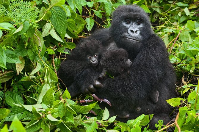 4 Days Rwanda Gorilla & Golden Monkey Tour