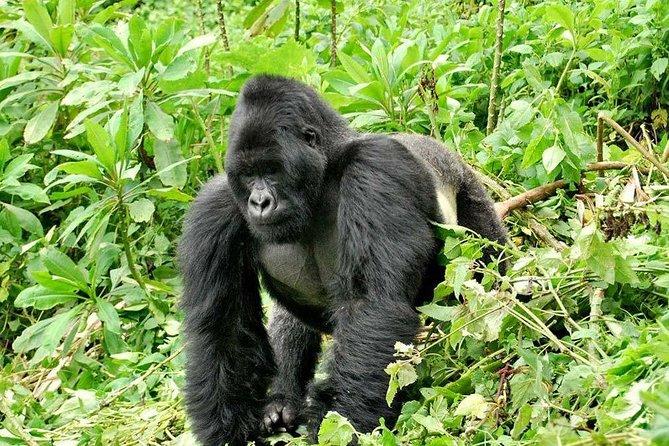4 Days Rwanda Double Gorilla Trekking Tour.