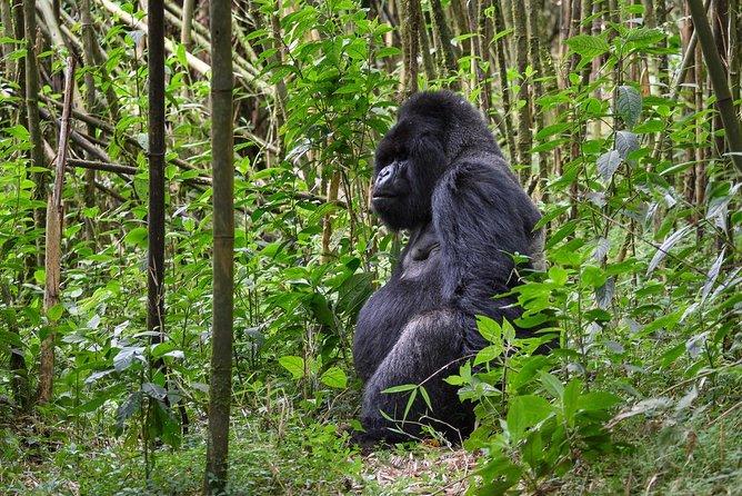 5 Days Rwanda Gorilla & Chimpanzee Trek Tour.