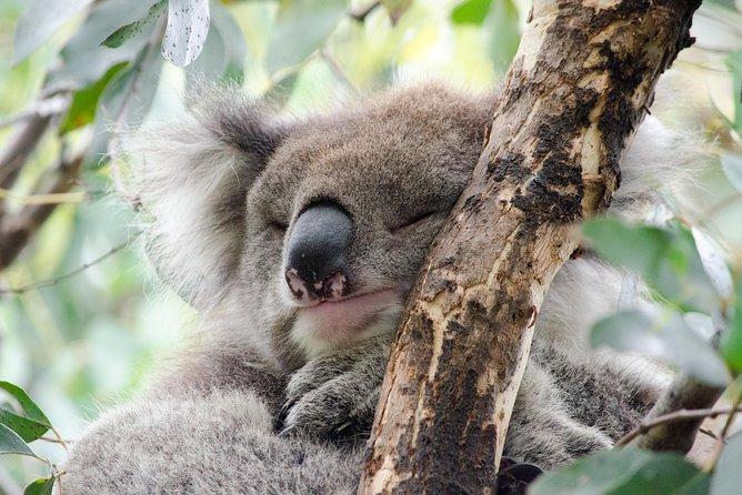 Koala sleeping, The Great Ocean Road