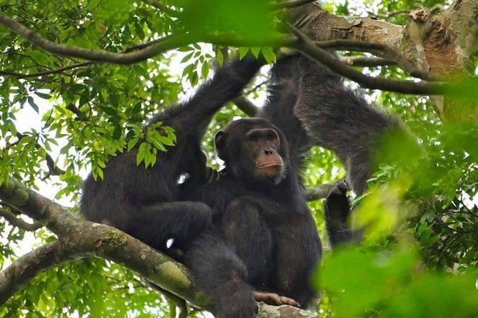 5 Day Gorilla & Chimps Trekking Experience