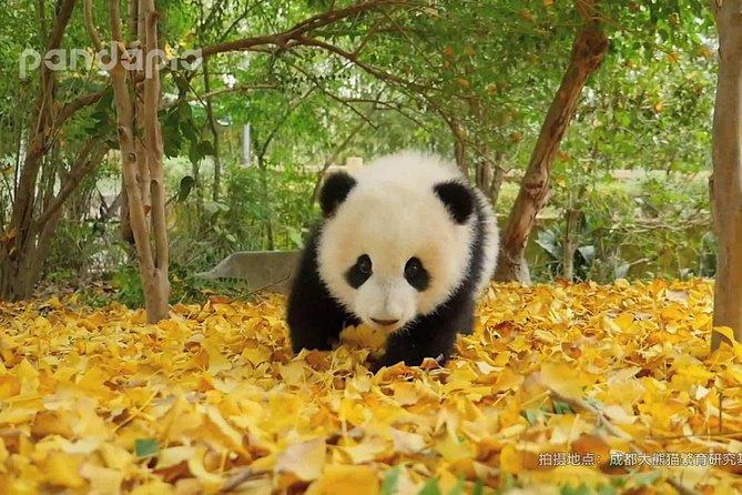 Panda Breeding Center (Panda Base) & Taoism temple tour
