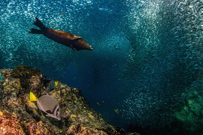 Swimming with Sea Lions in Sea of Cortez