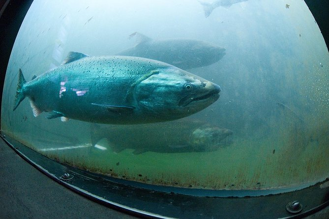 Wild Salmon going through fish ladder