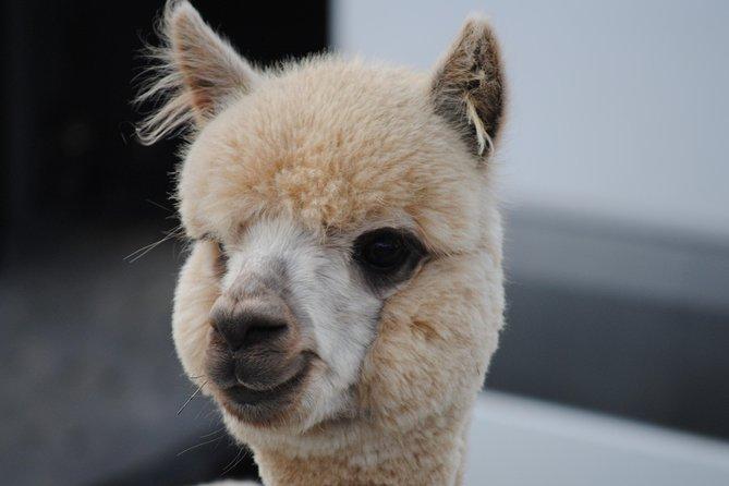 Alpaca Farm Tours with Toffeemont