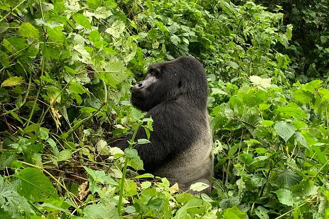 5 Day Gorillas, Wildlife and Chimpanzee Trekking Safari