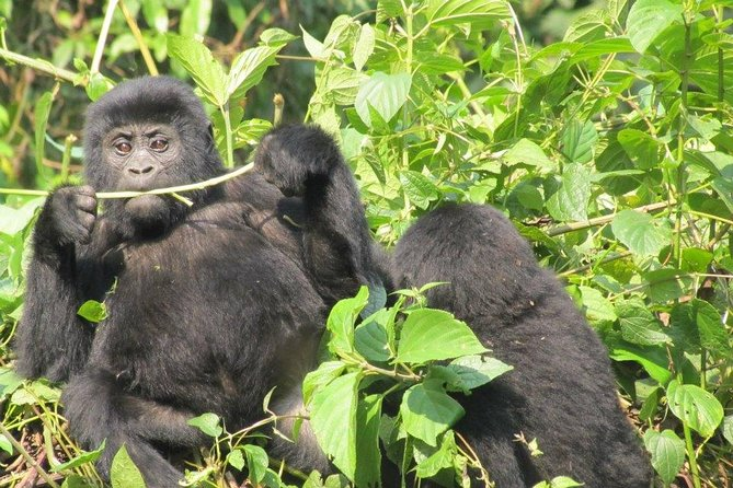 3 Day Kalinzu Forest Chimpanzee Trek and Gorilla Trekking photo 6