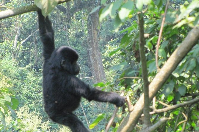 3 Day Kalinzu Forest Chimpanzee Trek and Gorilla Trekking photo 8