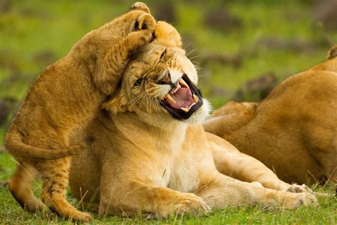 4 days 3 nights masai mara/Nakuru Semi Luxury safari( PRIVATE)