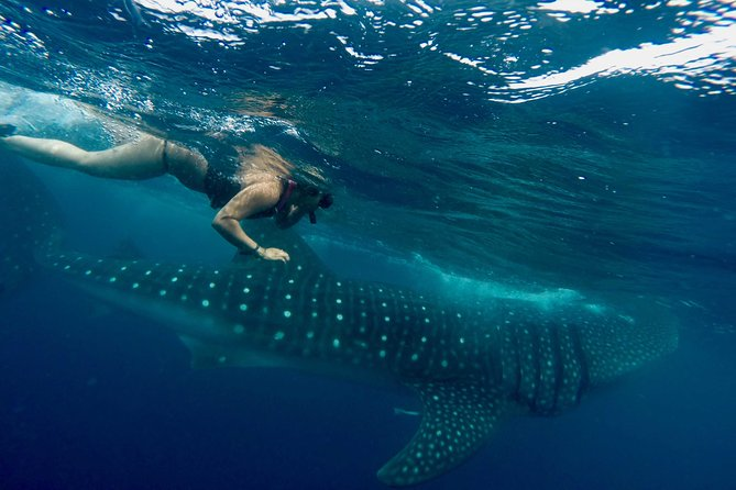 Whale Shark Encounter: A Life Time Experience with Lunch and Drinks Included