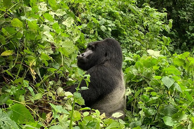 3 Day Kalinzu Forest Chimpanzee Trek and Gorilla Trekking photo 3
