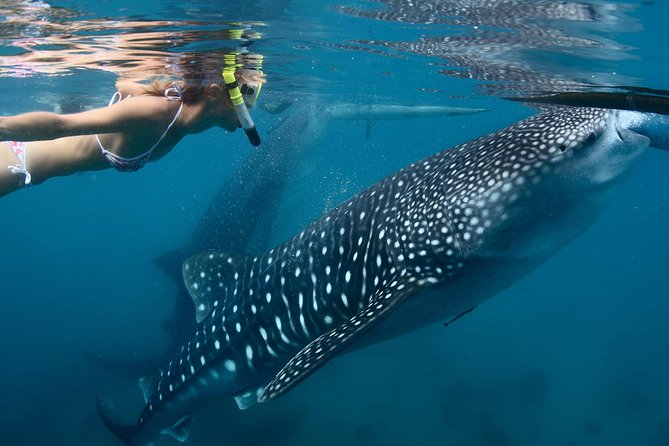 Whale Shark Experience Lifetime Memories in Cancun (lunch and water included)