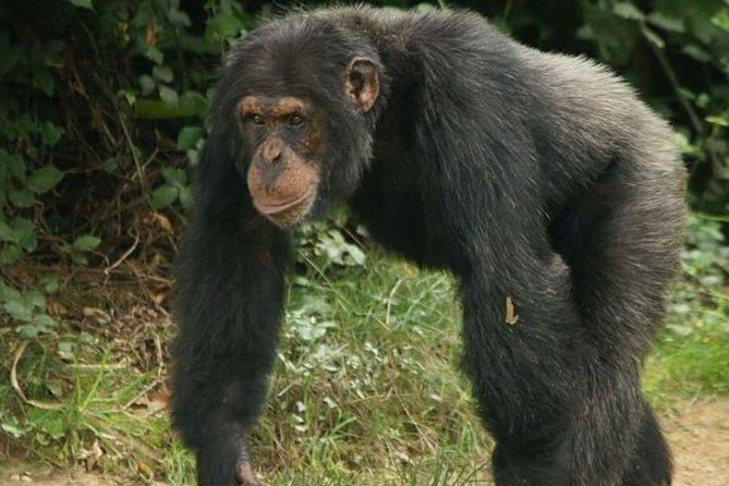 3 Day Chimp Habituation or Trekking In Kibale