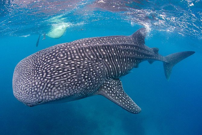 Dive In Oslob Whaleshark And Sumilon From Dumaguete photo 2