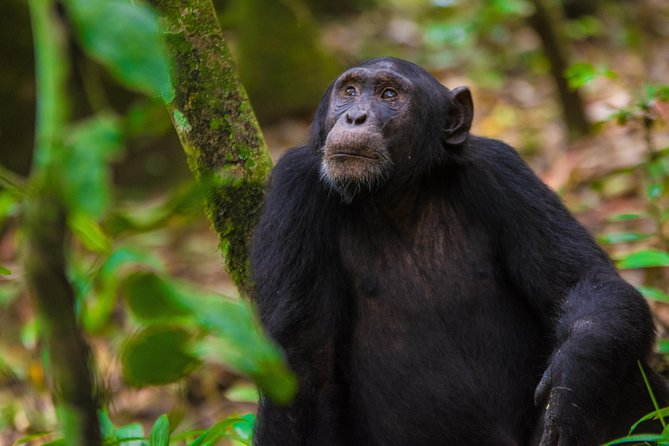 8 days Gorrila Tracking and Chimp Tracking Safari