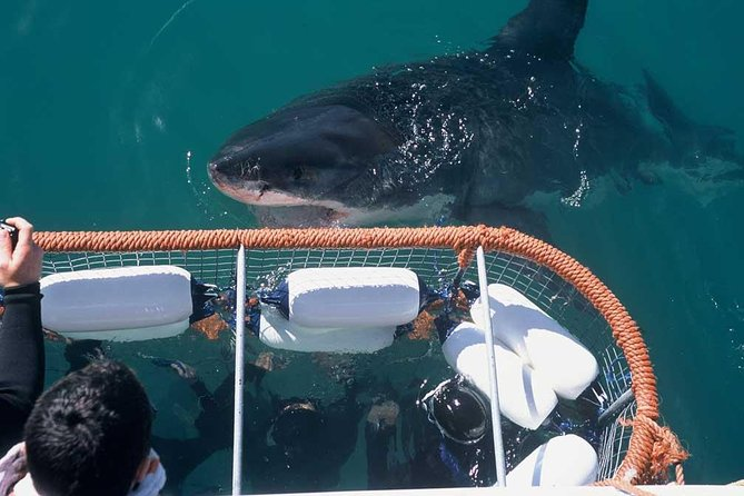 Great white action with view from the cage