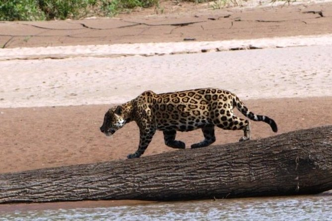 In the footsteps of the jaguar