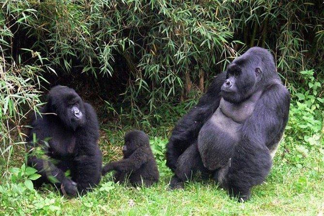 3 Days Gorilla safari to Uganda at Bwindi National Park