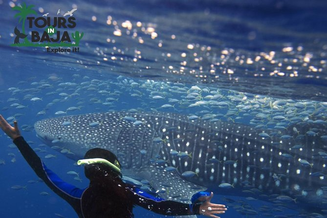 Swim with whale sharks in Baja California