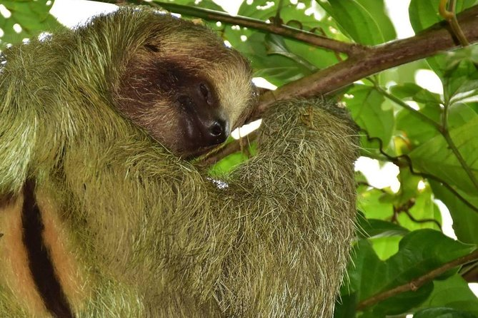 Sloth Tour in Arenal,La Fortuna|7 people Max|Local Guides