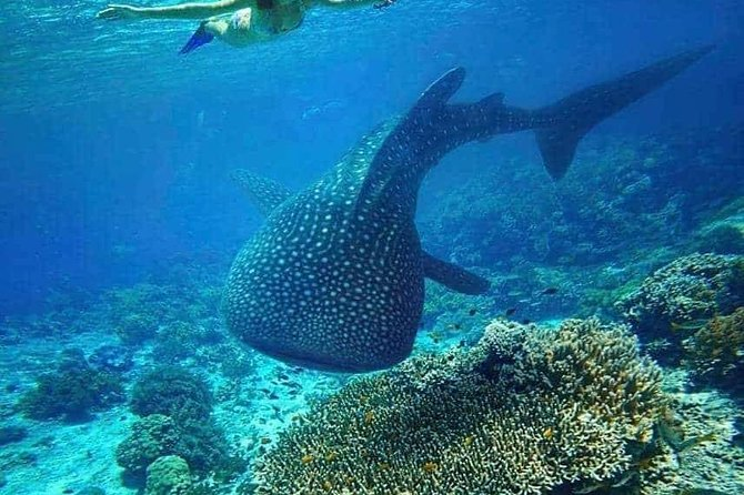 Whale Shark in Oslob