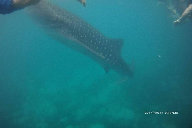 Whale Shark in Oslob photo 9
