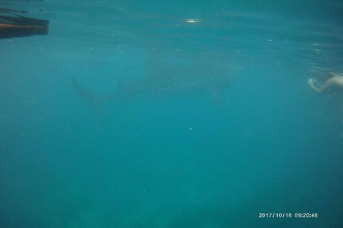 Whale Shark in Oslob photo 4