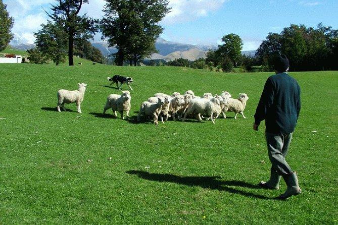 Akaroa Shore Excursion: Akaroa Harbour and Sheep Farm Local Tour