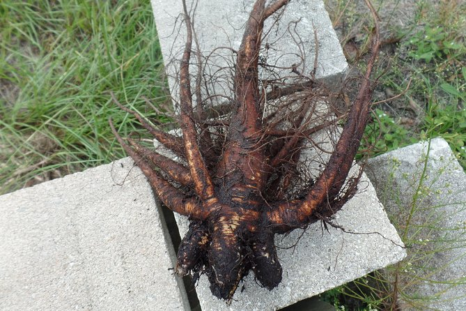 Come harvest,eat, and drink this root and learn how great it is for you.