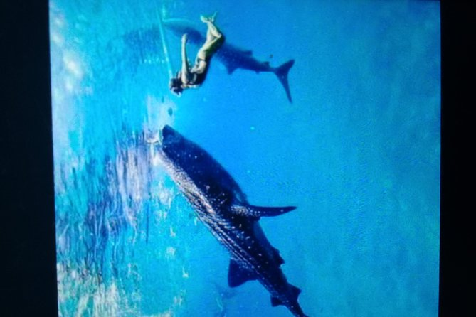Whale Shark in Oslob photo 2