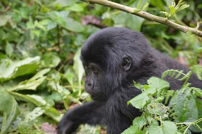 5 days Primates habituation Experience Uganda ( minimum 2 persons )