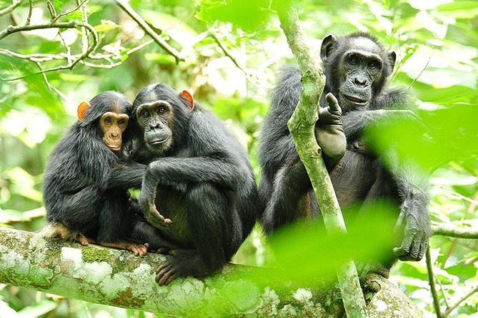 2 Days Chimpanzees trekking&Canopy walk experience