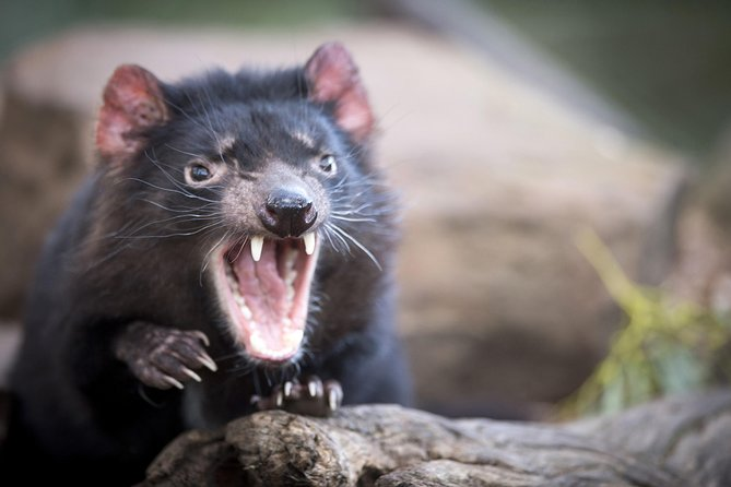 Port Arthur and Tassie Devils Active Day Tour from Hobart
