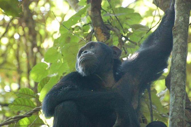Chimpanzee trekking Kibale